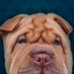 Shar Pei - Dog Collection